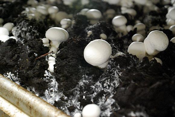 ursprungslandbezeichnung wann sind champignons pilze aus deutschland der champignon. Black Bedroom Furniture Sets. Home Design Ideas
