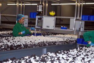 Ein selbstfahrender Erntewagen und moderne Wiegetechnik helfen beim Ernten bei der Ein-Lagen-Kultur.