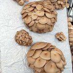 Exotische Speisepilze wie diese Austernpilze bilden einen Schwerpunkt der Arbeit bei der HLP