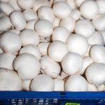 Die Produktion, Lagerung und Marktaufbereitung von Champignons ist energieintensiv