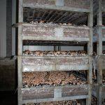 """""""Heirloom"""" in Kisten bereit für die Auslieferung, wie fast überall machen die braunen Champignons hier 10 Prozent der Produktion aus"""