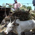 Transport von Zuckerrohr in die Fabrik, als Zugtiere dienen hier Ochsen