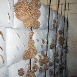 Austernpilze 18 Tage nach dem Spicken in einem Bunker