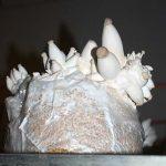 Die schmackhaften Kräuterseitlinge zählen zu den Exoten