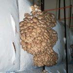 Austernseitlinge gehören – noch? – zu den Exoten unter den in Deutschland produzierten Speisepilzen
