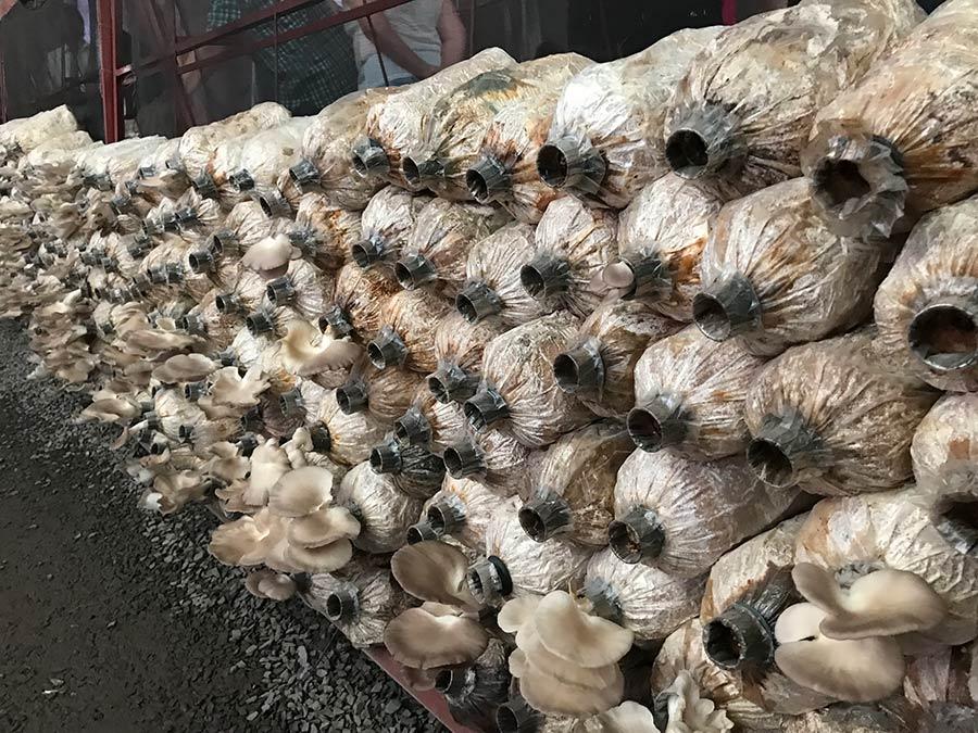Austernpilz in Flaschen – einfach aber effektiv wie die Produktion der unteren Reihe beweist.