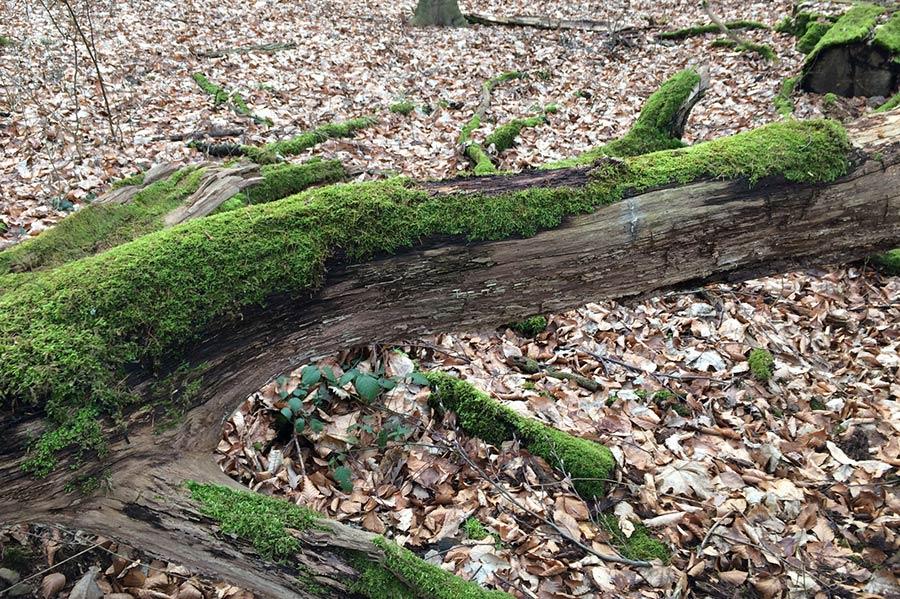 Bemooste Stämme für den Besatz mit Pilzen sind bereits im Garten angeordnet.